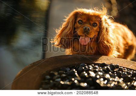 Cavalier King Charles Spaniel dog in yard