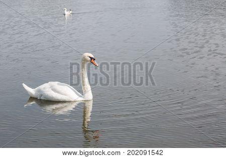 Beautiful swam swimming slowly across a lake