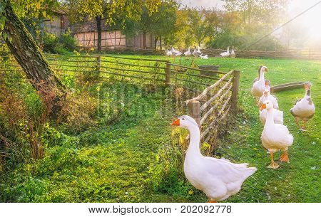 Rustic landscape illustrating the charm of countryside life with a flock of white geese coming out of the yard in a single row.