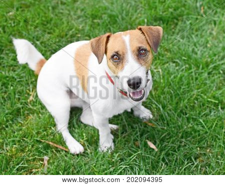 A cute happy purebred dog Jack Russell Terrier sitting on green lawn outdoor at summer day. A sweet doggy looking up