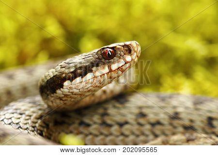 beautiful portrait of common european viper in the wild ( Vipera berus )