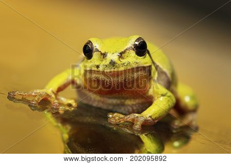 close up of a curious green tree frog ( Hyla arborea ) standing on glass surface - the windscreen of a car