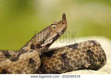 close-up of female nosed viper macro portrait of beautiful snake ( Vipera ammodytes )