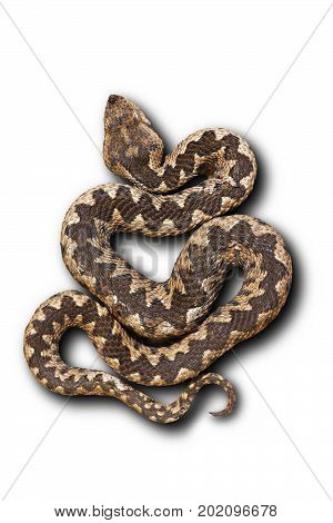 european nose horned viper on white background with shadow ( Vipera ammodytes beautiful pattern ); this is one on the most venomous widespread snakes from Europe