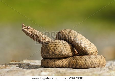 juvenile ammodytes adder preparing to strike ( the nose horned adder )