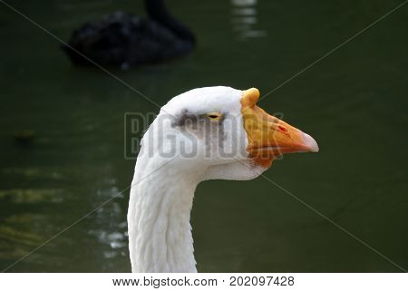 Head of a white domestic goose with yellow beak closeup on a background of dark water