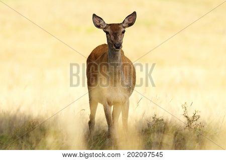 red deer hind closeup over out of focus background full length wild animal ( Cervus elaphus female )