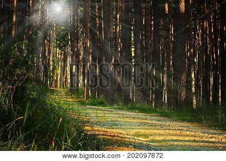 sunrays over footpath in the woods pine forest at dawn