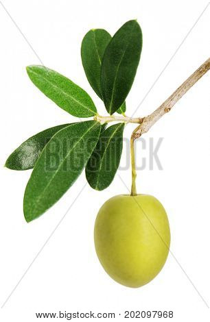 Olive branch with green olives. Isolated on white background