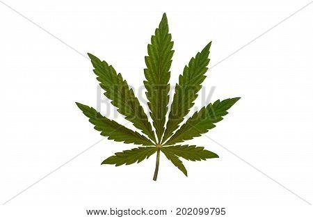 bush marijuana on blurred background. bush cannabis.