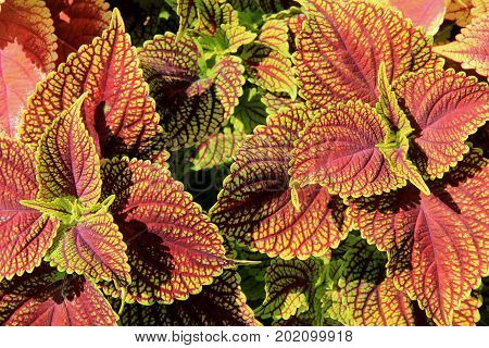 Horizontal image of healthy coleus plant with colorful leaves is a favorite of gardeners everywhere.