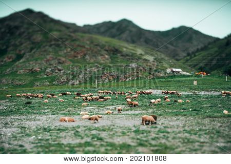 True tilt-shift shooting of green mountain pasture with sheeps on summer day with hills and shieling in defocused distance Altai mountains near Kuyus district Russia
