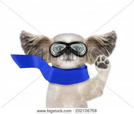 Cute shitzu dog flying with his ears like a superhero. Isolated on white background