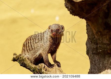 Banded mongoose sitting on a wooden branch looking at from the camera