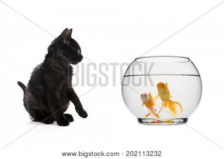Black Cat Looking at Goldfishes