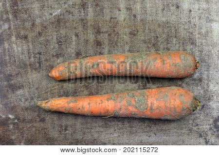 Two fresh whole winter carrots on a grungy metal background
