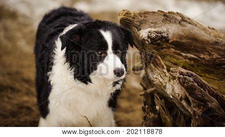 Border Collie dog portrait against driftwood on beach