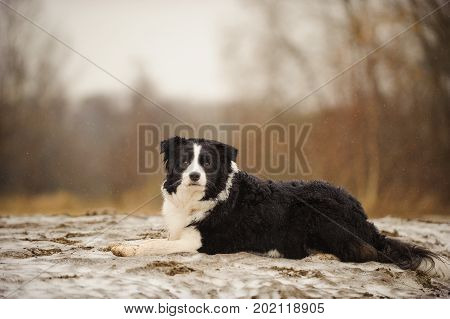 Border Collie dog lying in field with light snow