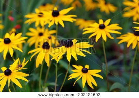 Beautiful Rudbeckia Goldstrum flowers golden yellow petals with dark-eyed centers with green leaves.