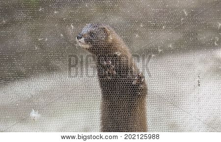 European mink Mustela lutreola looking through the grid of his cage poster