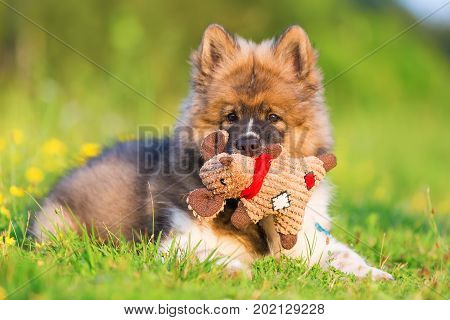 Cute Elo Puppy Lies On The Grass With A Toy In The Snout