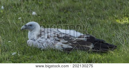 Himalayan vulture in green grass lying in afternoon