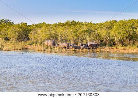 Herd Of Hippos Sleeping, Isimangaliso Wetland Park, South Africa