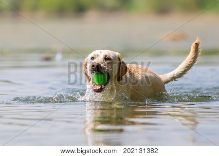 Labrador Retriever With A Soft Toy In The Snout Swims In A Lake