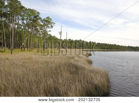 Saw Grass and Slash Pine Habitat on Perdido Bay at Tarkiln Bayou Preserve State Park.