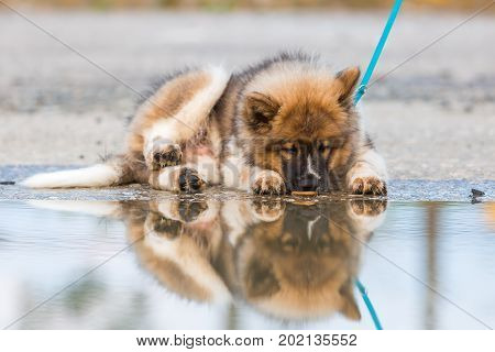 Elo Puppy Lies Besides A Puddle And Licking At The Water