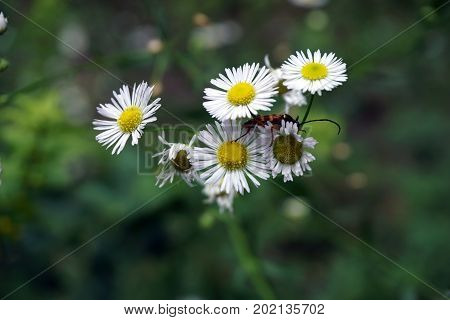 A long-horned beetle (Typocerus sp.) climbs among the flowers of an oxeye daisy (Leucanthemum vulgare) in the Hammel Woods Forest Preserve in Shorewood, Illinois, during July.