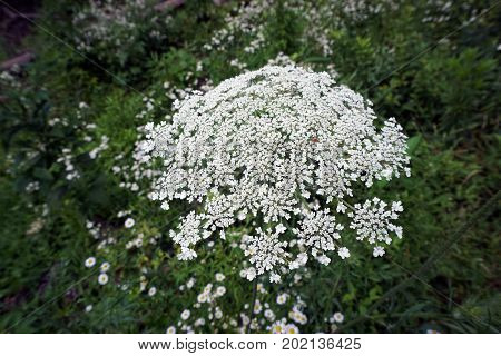 A tiny beetle climbs on the flower of a Queen Anne's Lace (Daucus Carota), also called the wild carrot, in  in the Hammel Woods Forest Preserve in Shorewood, Illinois, during July.