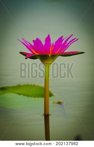 pink single waterlily in small pond. I like  close up shot of waterlily flower.