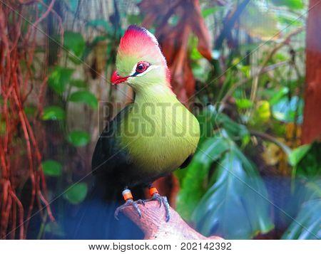 Fisher's Turaco Bird