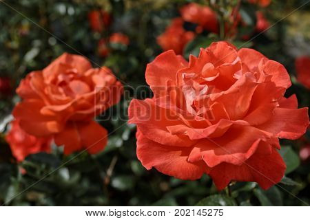 Scarlet roses in a garden in a summer day