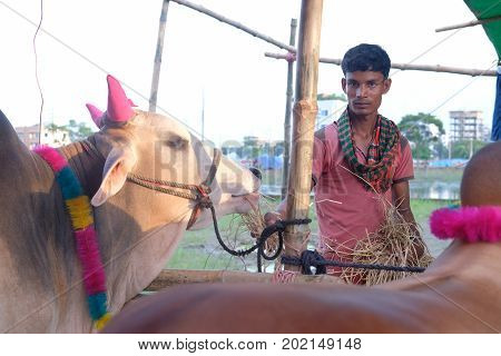 Dhaka, bangladesh, august 2017-a cow onwer with his cows for sale for upcomming mulim eid ul adha festival located at aftab nagar cow market in dhaka in bangladesh taken on 30, august 2017