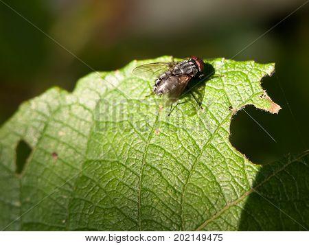 Close Up Of Single Flesh Fly On Green Leaf Macro Sarcophaga Carnaria