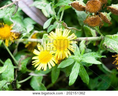 Close Up Of Yellow Petal Flower Heads Of Colt's Foot Tussilago Farfara