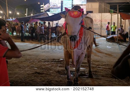 Dhaka, bangladesh, august 2017-a cow onwer with his cow for upcomming mulim eid ul adha festival located at aftab nagar cow market in dhaka in bangladesh taken on 30, august 2017