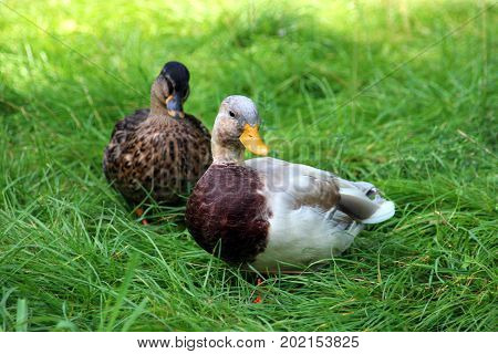 domestic duck and wild duck in grass looking into camera