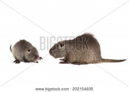 Two Grey Coypu (Myocastor coypus) aka river rat or nutria mammal animal isolated on a white background