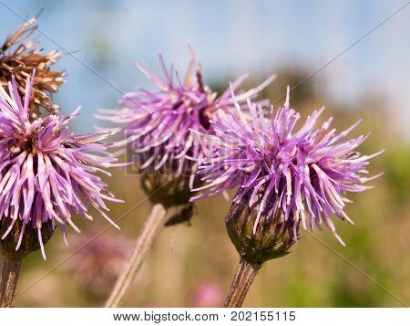 Pink Milk Thistle Flower Heads Close Up Silybum Marianum
