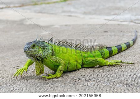 The green iguana (Iguana iguana), also known as the American iguana, is a large, arboreal, mostly herbivorous species of lizard of the genus Iguana. It is native to South America, and the Caribbean.