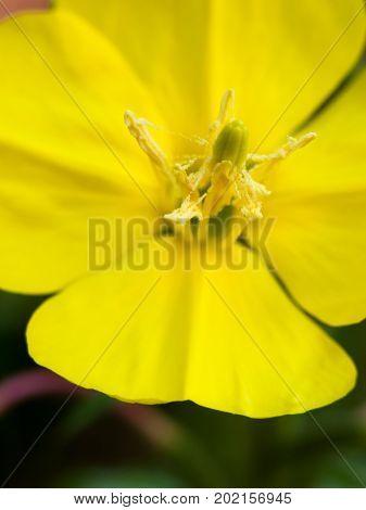 Wild Yellow Close Macro Petals Flower Stamen