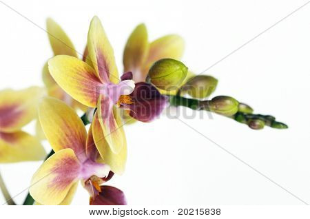 beautiful yellow orchids against white background