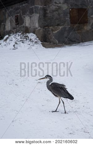 A Gray Heron In The Finnish Winter