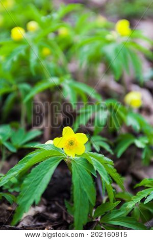 Yellow flower of anemone ranunculoides in spring. Close-up.