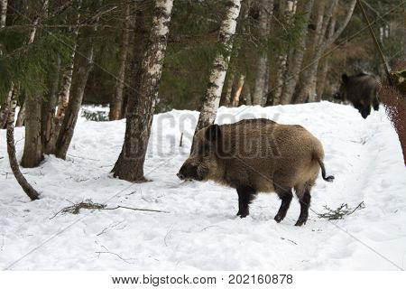 An Animal Portrait Of An Adult Wild Boar In The Winter.