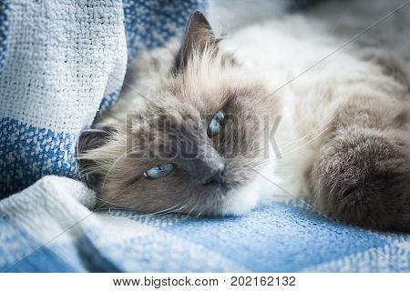 Beautiful Neva Masquerade cat portrait. Adult Purebred cat lying on sofa. poster