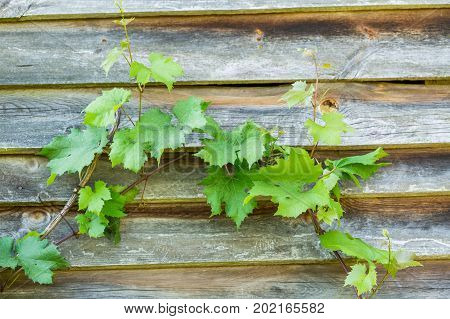 Green Vine Leaves On Wooden Wall Background
